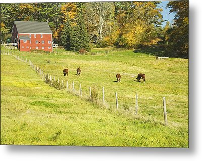 Cows Grazing On Grass In Farm Field Fall Maine Metal Print by Keith Webber Jr