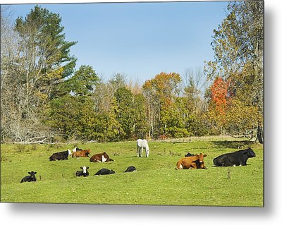 Cows Laying On Grass In Farm Field Autumn Maine Metal Print by Keith Webber Jr