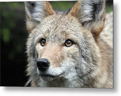 Coyote - 0031 Metal Print by S and S Photo