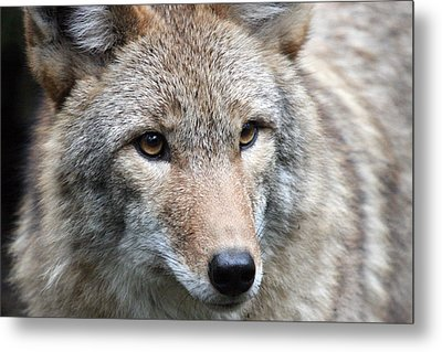 Coyote - 0034 Metal Print by S and S Photo