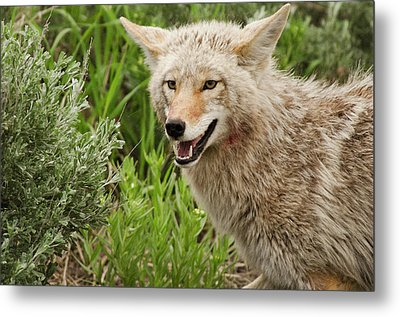 Coyote Hunting Metal Print by Bjbowne