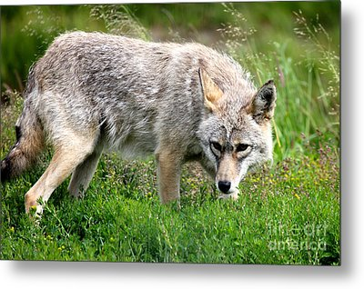 Metal Print featuring the photograph Coyote On The Prowl by Kathy  White