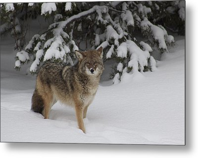 Coyote Metal Print by Sylvia Hart