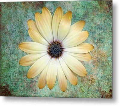 Cream Coloured Daisy Metal Print by Chris Thaxter