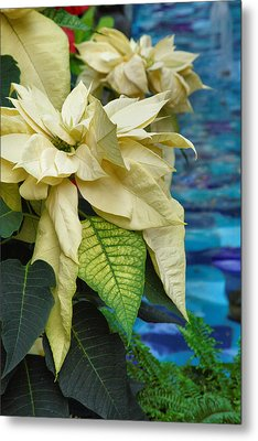 Creamy Poinsetta  Metal Print by Steven Ainsworth