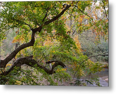 Crooked Limb Metal Print