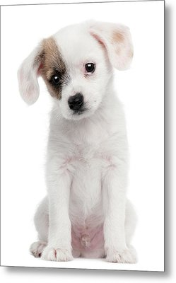 Cross Breed Puppy (2 Months Old) Metal Print by Life On White