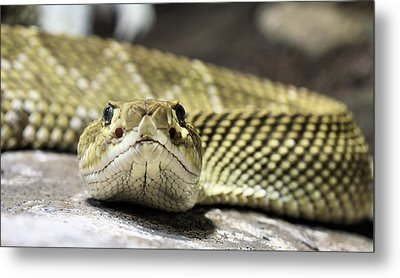 Crotalus Basiliscus Metal Print by JC Findley