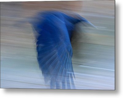 Metal Print featuring the photograph Crow Motion by Scott Holmes