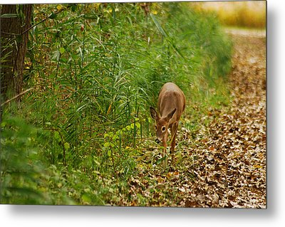 Curious Doe 9838 Metal Print by Michael Peychich