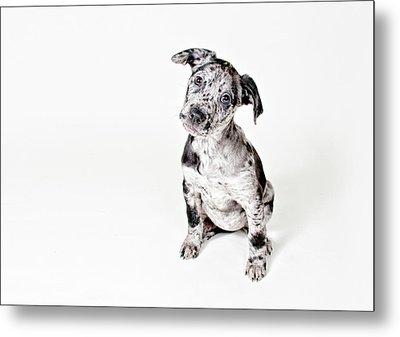 Curious Puppy Metal Print by Chad Latta