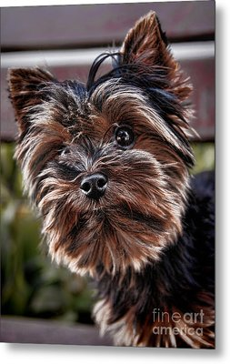 Curious Yorkshire Terrier Metal Print by Mariola Bitner