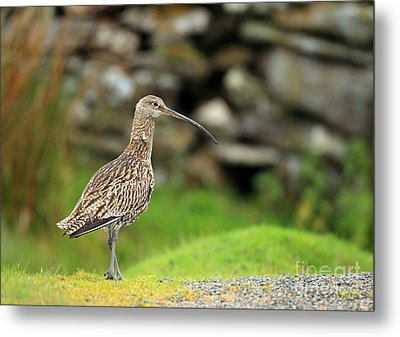 Curlew  Metal Print by Clare Scott