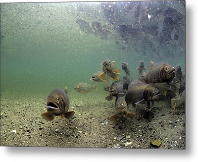 Cutthroat Trout School In Lake Metal Print by Michael S. Quinton