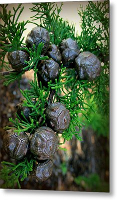 Cypress Seed Pods Metal Print by Cindy Wright