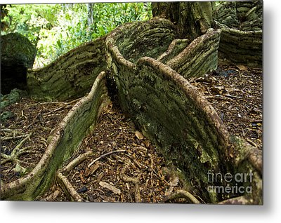 Cypress Tree On Hawaii Metal Print by Micah May