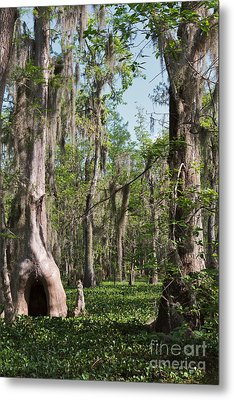 Cypress Trees And Water Hyacinth In Lake Martin Metal Print by Louise Heusinkveld