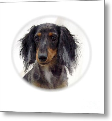 Dachshund 07 Metal Print by Larry Matthews
