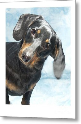 Dachshund 441 Metal Print by Larry Matthews