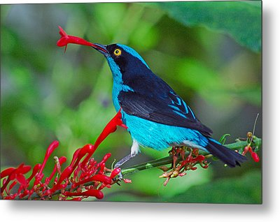Metal Print featuring the photograph Dacnis Lineata by Luis Esteves