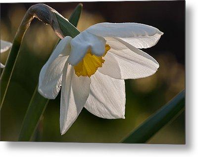 Daffodil Closeup Metal Print by Ron Smith