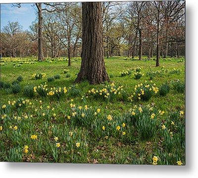 Daffodil Glade Number 2 Metal Print by Steve Gadomski