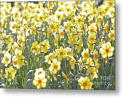 Metal Print featuring the photograph Daffodils  by Gary Bridger