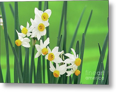 Daffodils (narcissus Canaliculatus) Metal Print by Archie Young