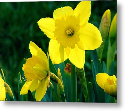 Metal Print featuring the photograph Daffodils by Sherman Perry