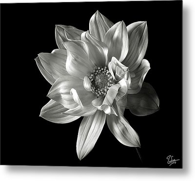 Dahlia In Black And White Metal Print by Endre Balogh