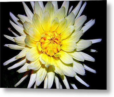 Metal Print featuring the photograph Dahlia In White And Yellow by Laurel Talabere