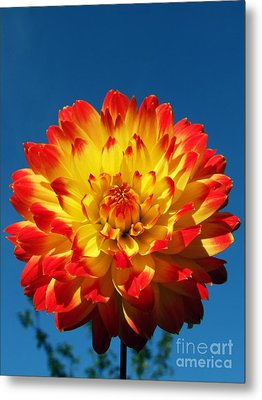 Dahlia 'procyon' Metal Print by Ian Gowland and Photo Researchers