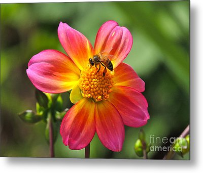 Metal Print featuring the photograph Dahlia Sun by Eve Spring