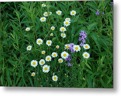 Daisies Metal Print by Aimee L Maher Photography and Art Visit ALMGallerydotcom