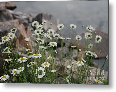 Daisies And How They Grow Metal Print by Joan McArthur