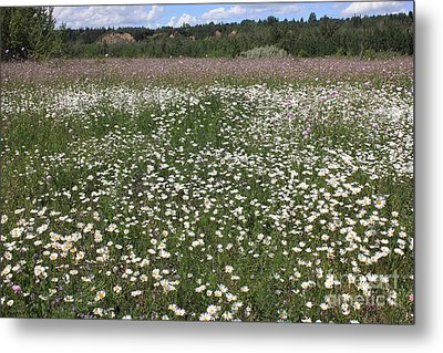 Daisies And Purple Flowers Metal Print by Jim Sauchyn