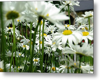 Daisies In My Garden Metal Print by AmaS Art
