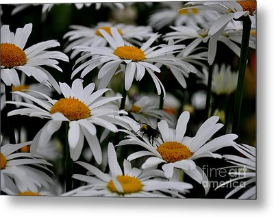 Daisies Metal Print by Tanya  Searcy