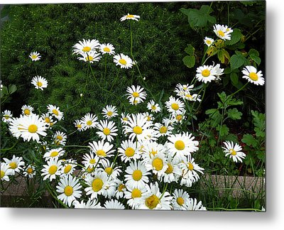 Metal Print featuring the photograph Daisies by Vicky Tarcau