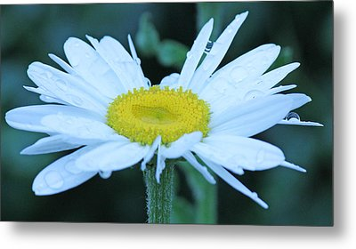 Daisy After The Rain Metal Print by Becky Lodes