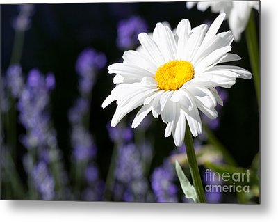 Daisy And Lavender Metal Print by Cindy Singleton
