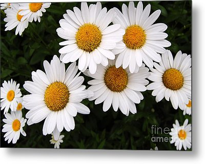 Daisy Blossoms Metal Print