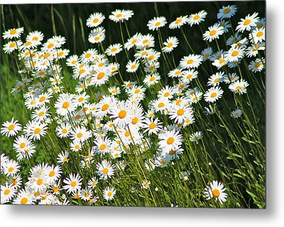 Daisy Day's Metal Print by Karen Grist