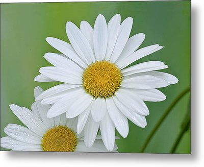 Metal Print featuring the photograph Daisy by Gordon Ripley
