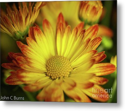Metal Print featuring the photograph Daisy by John Burns