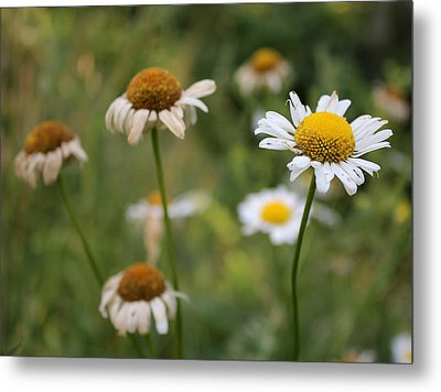 Daisy Maisy Metal Print by Kathleen Holley