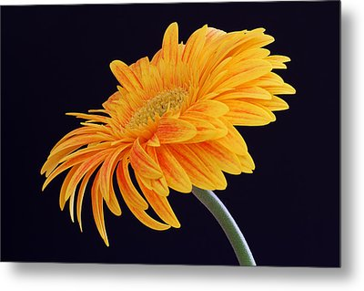 Daisy Of Joy Metal Print by Juergen Roth