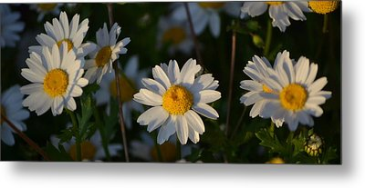 Metal Print featuring the photograph Daisy by Rima Biswas