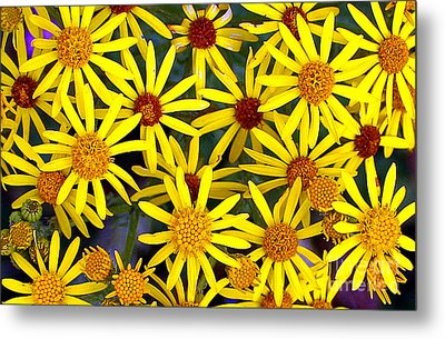 Daisys  Metal Print by Kami McKeon