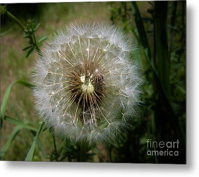 Metal Print featuring the photograph Dandelion Going To Seed by Sherman Perry